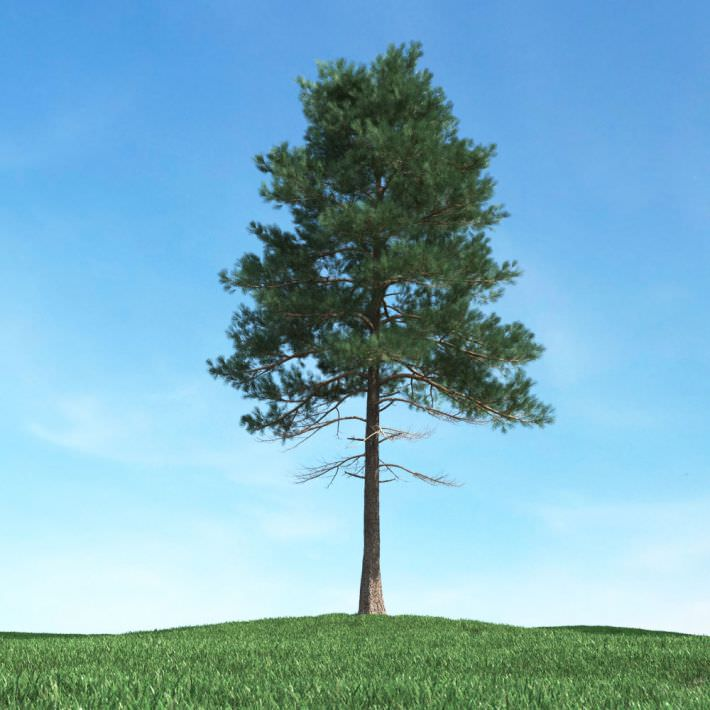 Pine Tree Tall pine tree 3d model. highly detailed 3d model of tree ...
