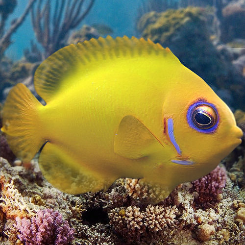 Lemon Lauwiliwili Reef fish