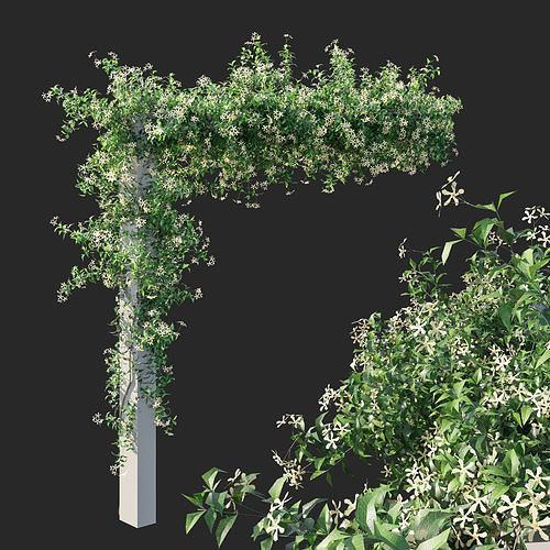 Trachelospermum Star Of Toscane star Jasmine