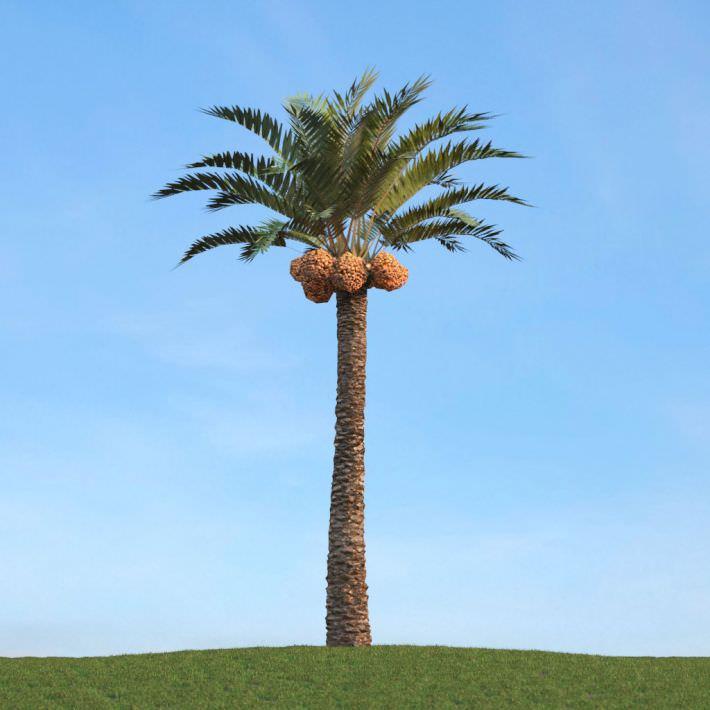 Tropical Palm Phoenix Dactylifera 3d Model Obj Cgtrader Com