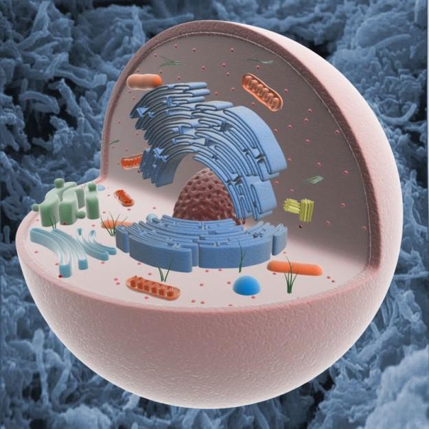 Animal Cell 3D Models