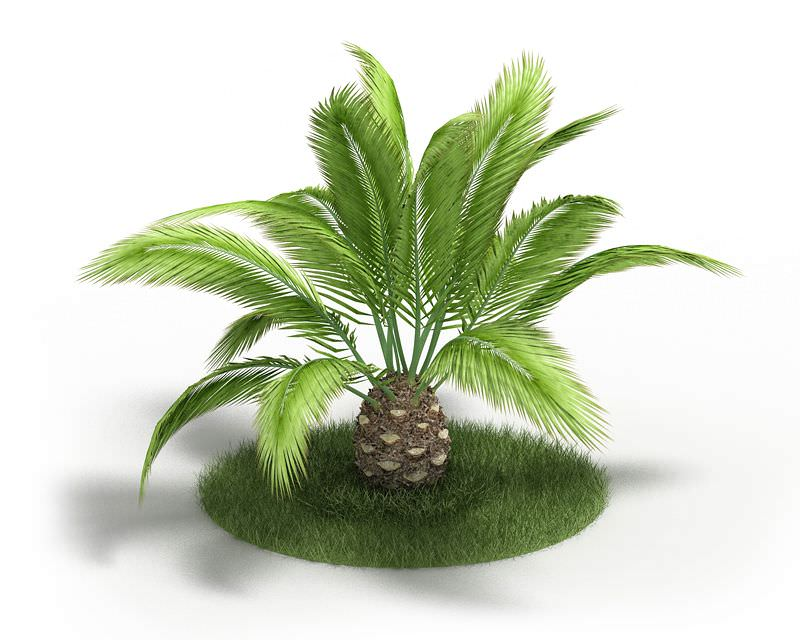 Simple table lamp - Phoenix Canariensis Plant 3d Model Cgtrader Com