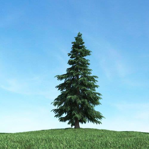 Conifer Tree 3d Model Cgtrader Com