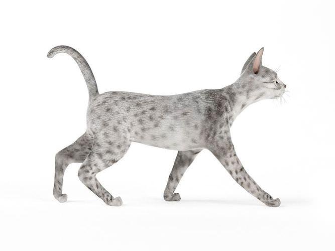 Rare Leopard Cat3D model