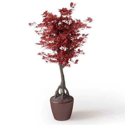 Japanese Maple Bonsai Tree3D model