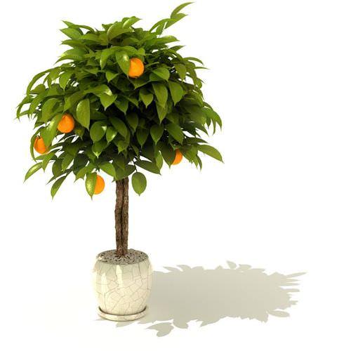 Potted Orange Tree3D model