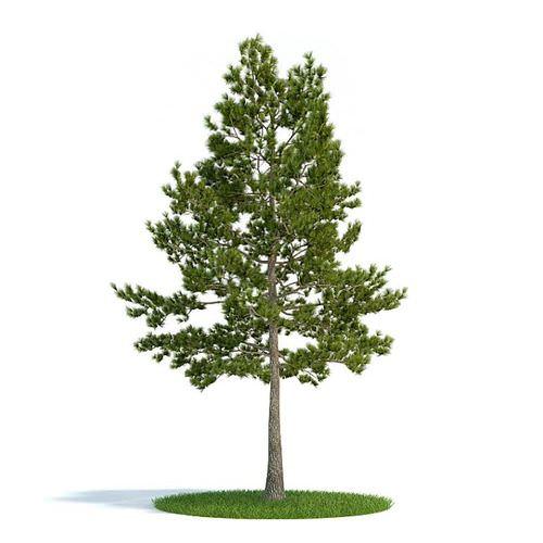 Pine Tree3D model