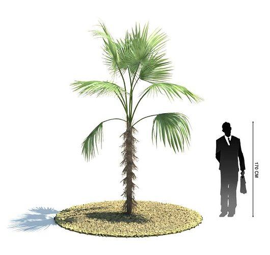 young palm tree 3d model obj mtl 1