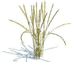 Wheat 3D