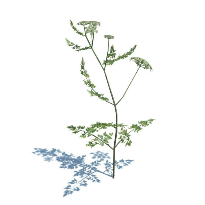Poison Parsley Plant