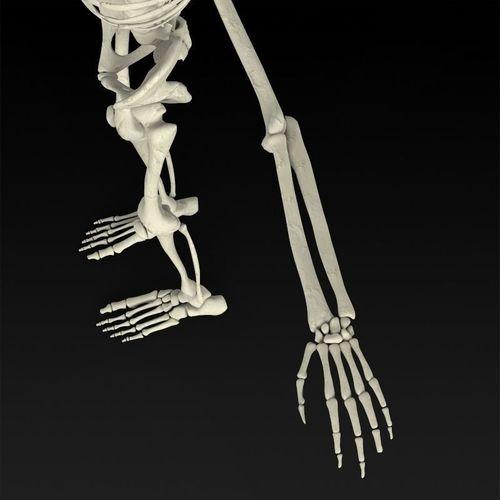 3d realistic human skeleton | cgtrader, Skeleton
