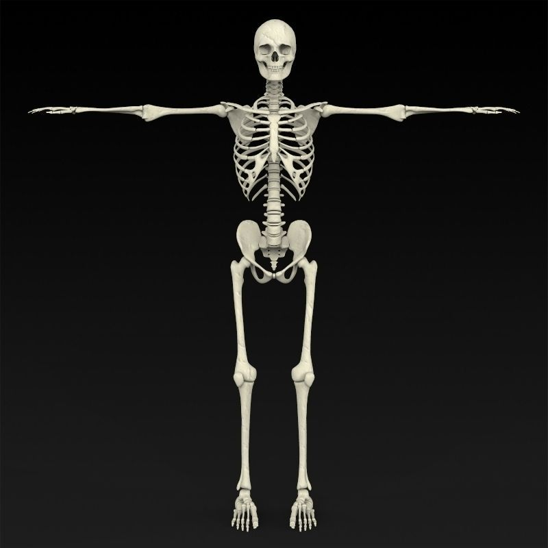 human skeleton model – brownshelter, Skeleton