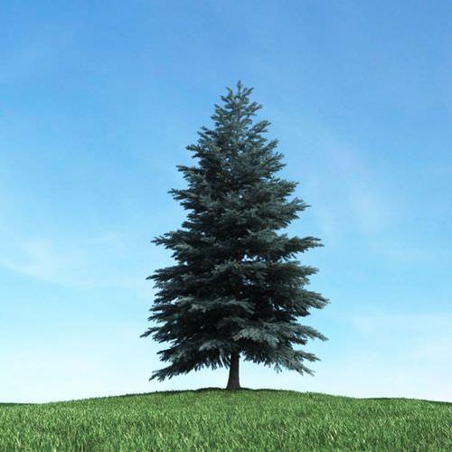 Tall Dark Green Conifer Tree 3d Model Cgtrader Com