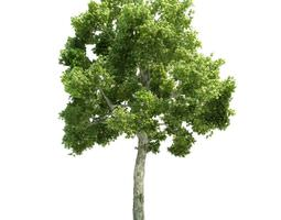 White Barked Model Tree