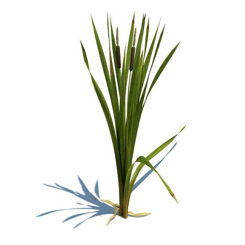 green leafy plant with cat tails 3d model obj 1