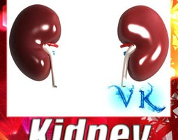 Human Kidneys 3D Model