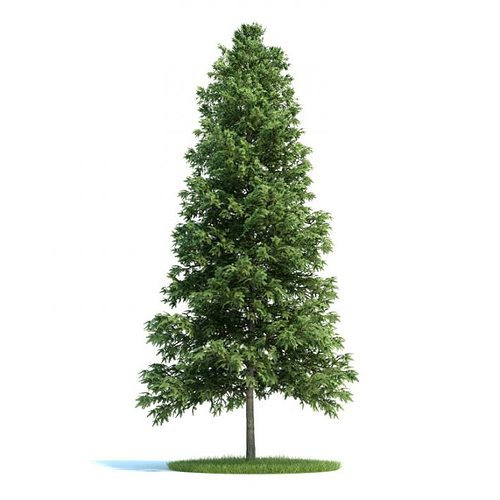 trees picea abies conifer 3d model 1 - Trees Picea Abies Conifer 3D Model CGTrader