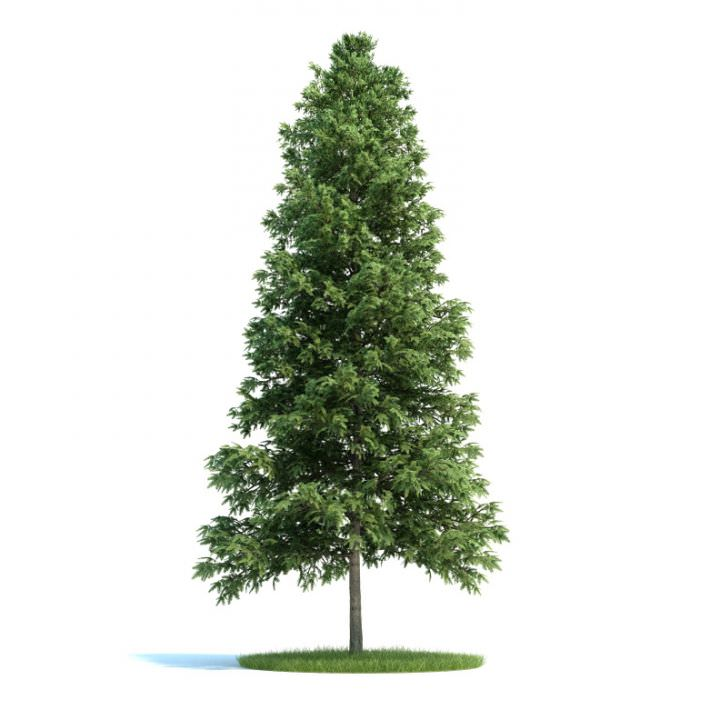 Trees Picea Abies Conifer 3D Model