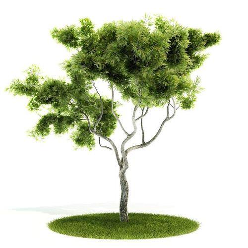Large Bonsai Tree3D model