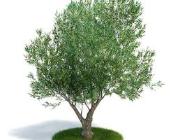 tree olea europaea young olive evergreen shrub 3d