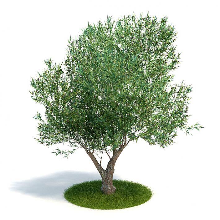 tree olea europaea young olive evergreen s 3d model. Black Bedroom Furniture Sets. Home Design Ideas