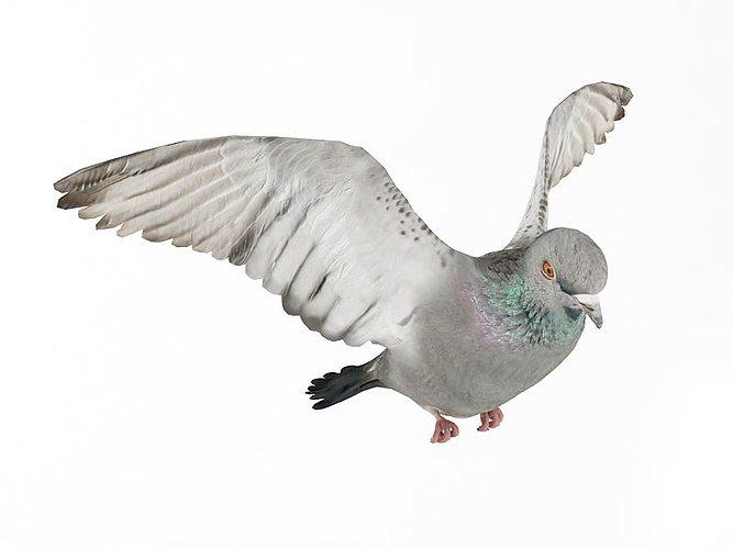 flying white pigeon 3d model obj mtl 1
