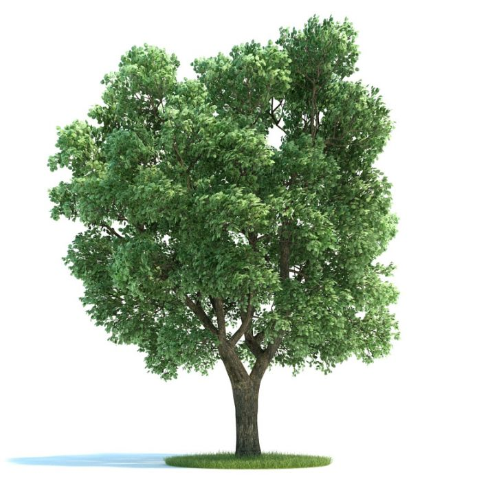 Green Big Ulmus Tree | 3D model
