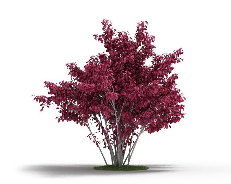 3d Model Plant Ornamental Purple Leaf Tree Cgtrader