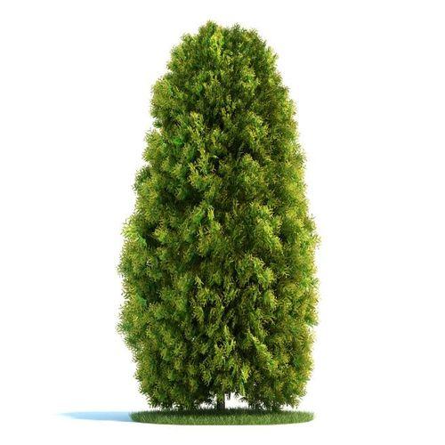 Mature Thuja Tree3D model