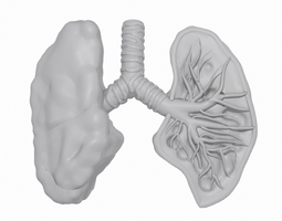 Lungs Cross Section 3D Model