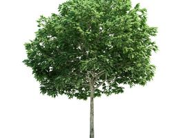 Tall Sorbus Green Leafed Tree 3D model