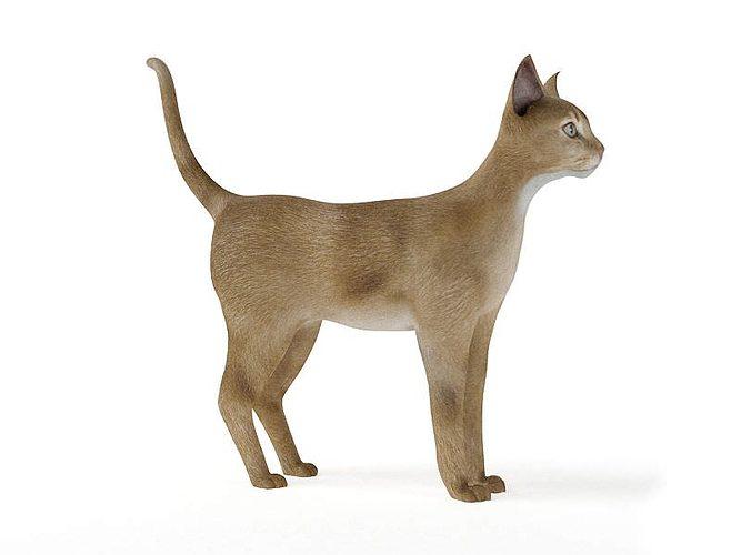 orange white short hair cat 3d model obj 1