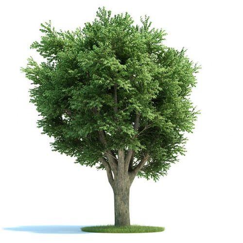 Ulmus Campestris Green Tree3D model