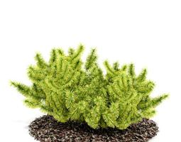 shrub   small bush 3d model