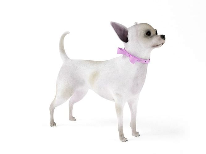 White Female Chihuahua 3D Model