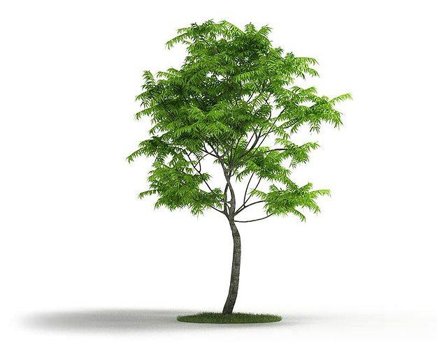 thin trunk tall tree 3d model obj mtl 1