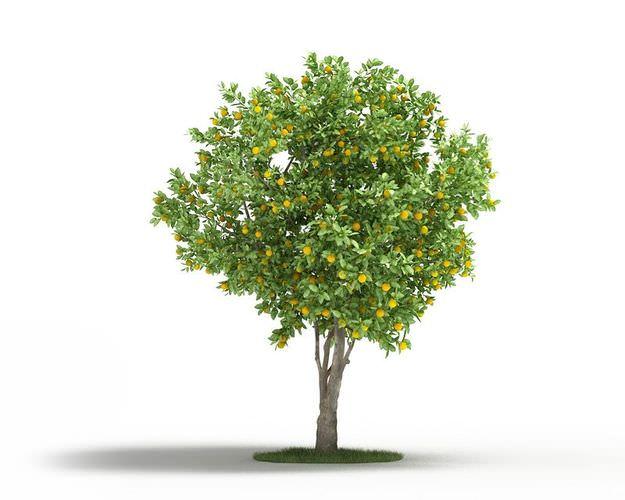 Mature Naval Orange Tree3D model