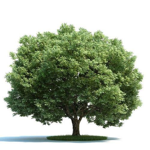 Mature Crack Willow Tree3D model