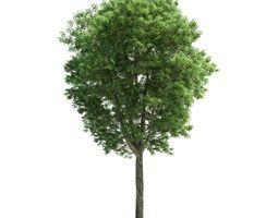 Green Leafy Fraxinus Plant 3D model