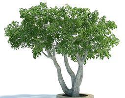 Ficus Plant greenery 3D model
