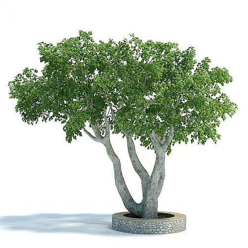 ficus plant 3d model  1