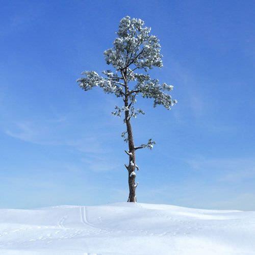 Snowy Fir Tree3D model