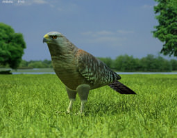 VR / AR ready red-shouldered hawk buteo lineatus 3d model