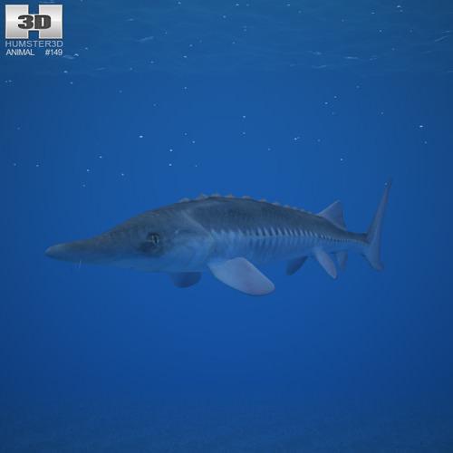 Atlantic Sturgeon Acipenser Oxyrhynchus3D model
