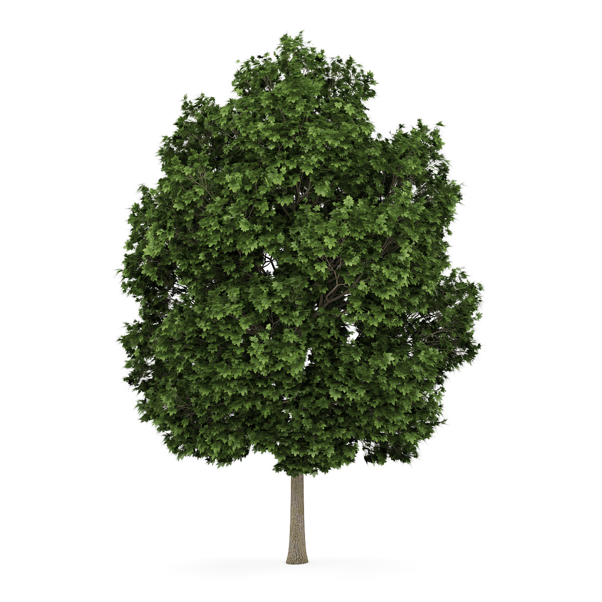 Common Maple 2 Acer Campestre 3d Model C4d Cgtrader Com