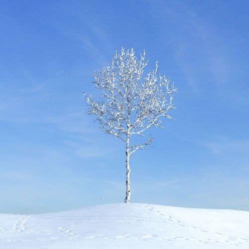 White Snow On Tall Leaf Less Tree3D model