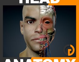 Human Male Head Anatomy 3D Model