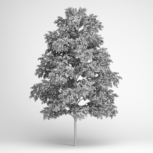 European White Birch 193D model
