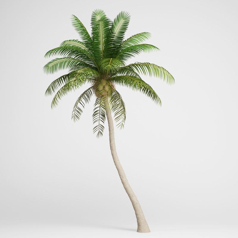 Coconut Palm | 3D model