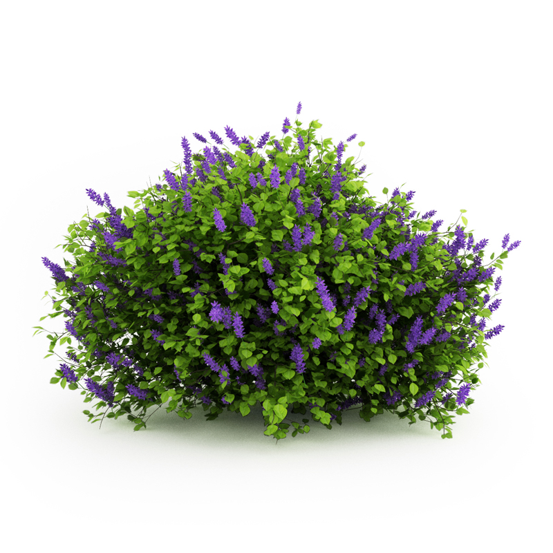 Pictures Of Lilac Bushes